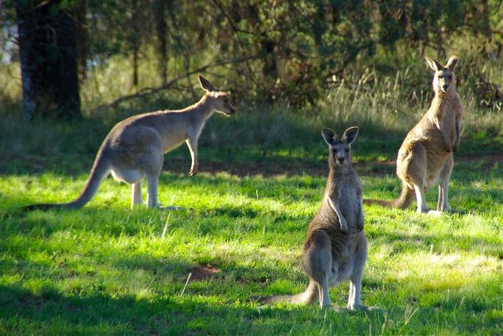 kangaroos-340287_1920