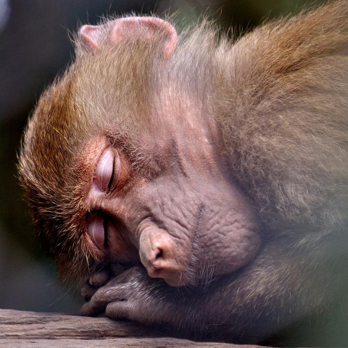 monkey-391372_1280