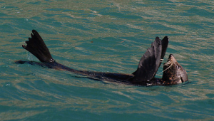 Otago seals