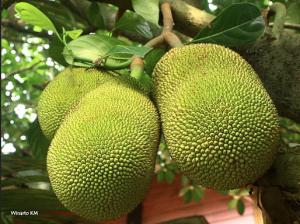 jackfruit up close
